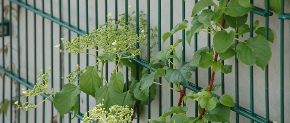 Eine Kletterhortensie (Hydrangea petiolaris) klettert an einer Stahlmatte als Rankhilfe und Stütze für die schweren Pflanzen