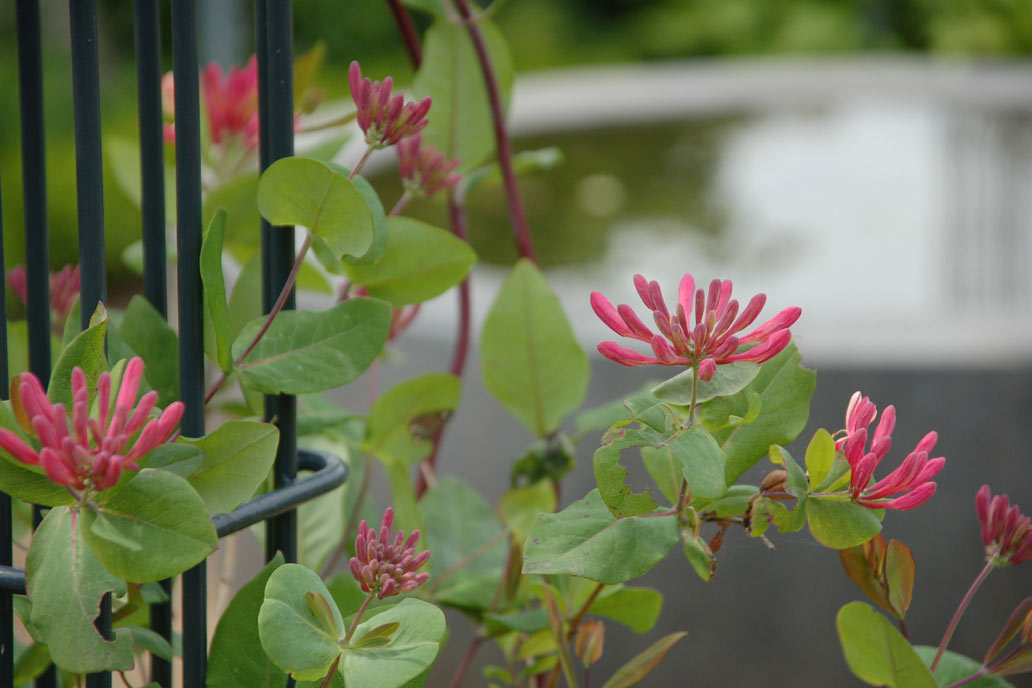 Zart rosa blühendes Jelängerjelieber an einem Rankbalken