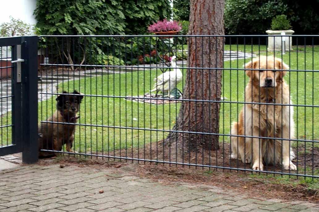 Ein kleiner und ein großer Hund hinter einem 80 cm hohen Stahlmattenzaun.