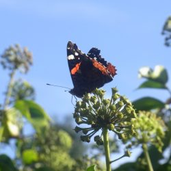 Ein Admiral Schmetterling auf einer Efeublüte an einem mit Efeu berankten Zaun im Herbst.