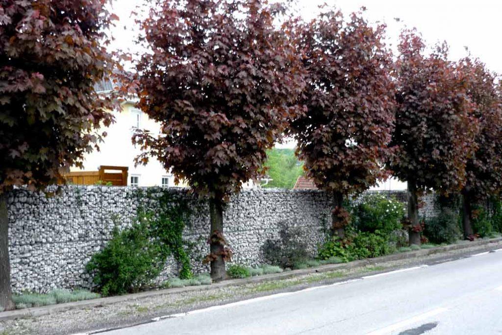 Gabionenmauer an einer straße. Davor eine Reihe aus rotblättrigem Ahorn.