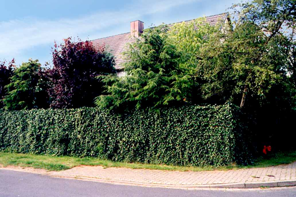 Grundstück mit einem komplett mit Efeu beranktem Stahlmattenzaun als Sichtschutzzaun.