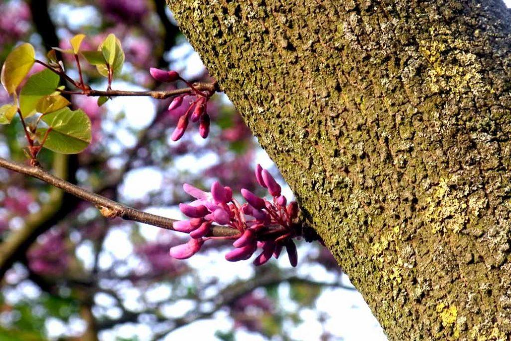 Rosa Blüten des Judasbaums direkt am Stamm (Cauliflorie).